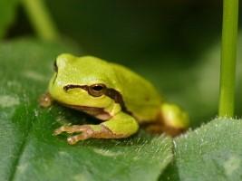 lange zunge frosch