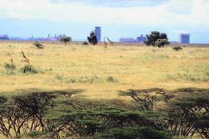 massai giraffen gewicht
