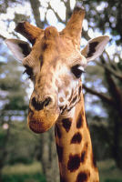 eigenschaften einer giraffe
